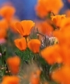 A slightly out of focus photo of California poppies (an orange flower), which is my link image for naturalism as a worldvidew, because it captures the idea of beauty and science and the natural world.